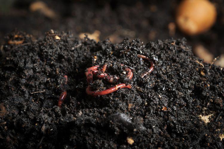 Dážďovky urýchľujú proces kompostovania