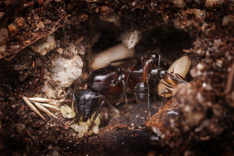 Mravčia kráľovná v hniezde