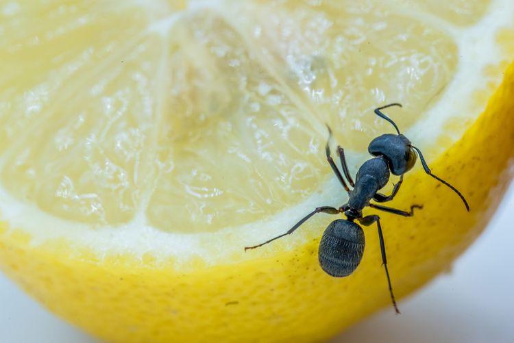 Mravec na citróne