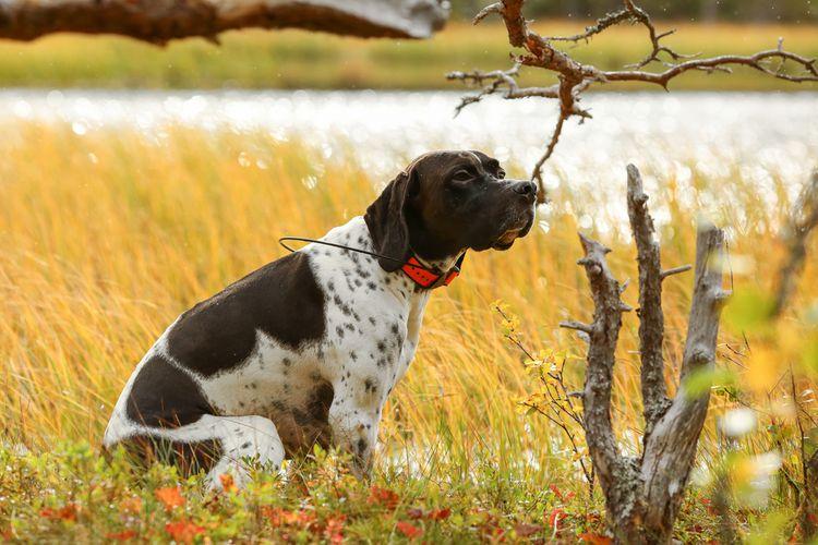Lovecký pes s GPS obojkom