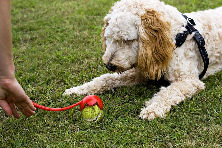 Vrhač loptičiek - vhodný darček pre psa