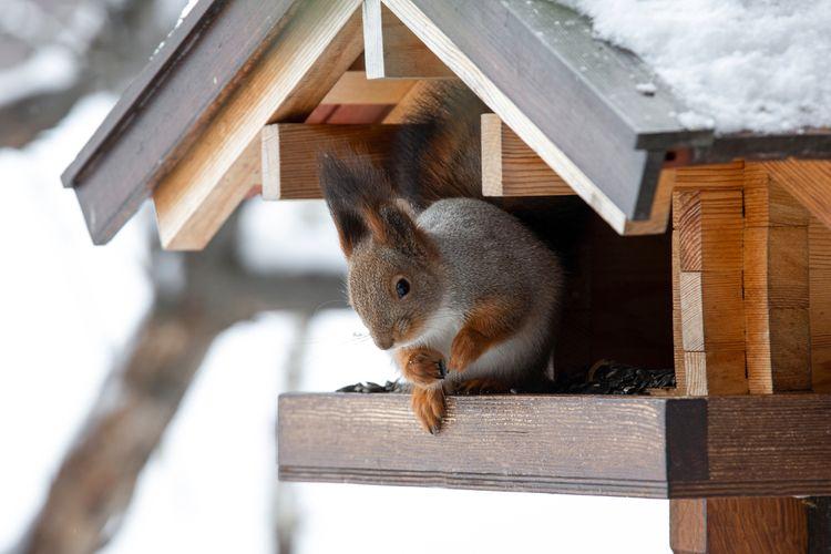 Veverička v kŕmidle pre vtáky